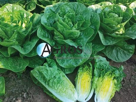 Семена салата Ксиомара 5000 шт (драже) - фото 10598