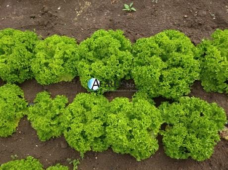 Семена салата Илема 5000 шт (драже) - фото 10677