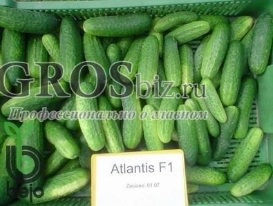Семена огурца Атлантис F1 1000 шт - фото 5070
