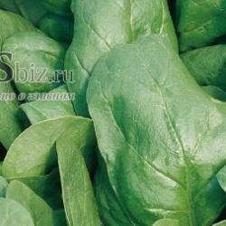 Семена шпината  Рембор