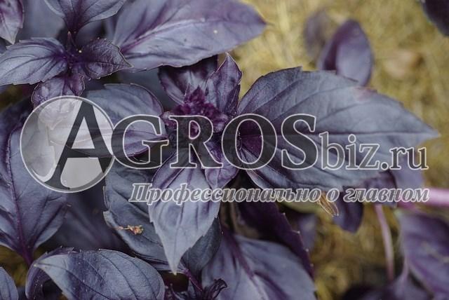Семена базилика Рози