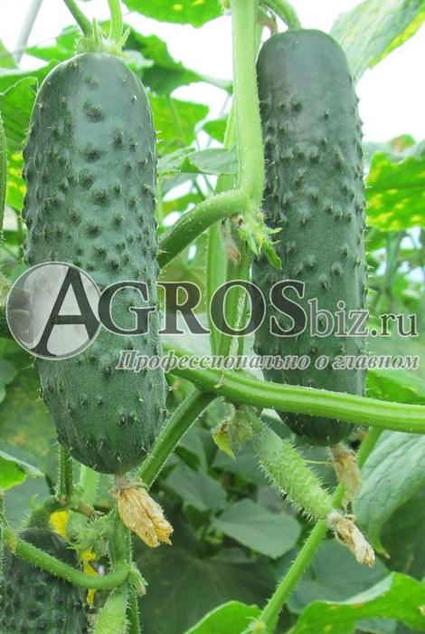 Семена огурца Афина F1 1000 шт - фото 7576