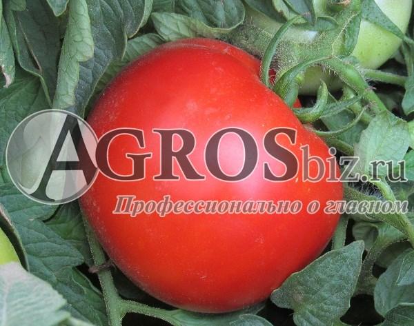 Семена томата Ольга F1 (Vilmorin)