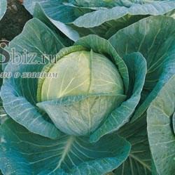 Семена капусты Мегатон F1 2500 шт - фото 7942