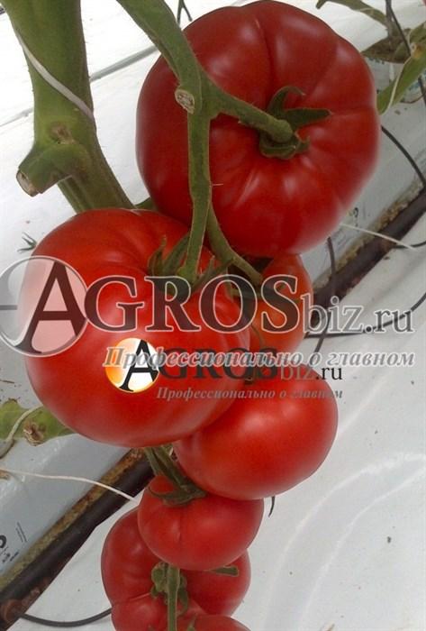 Семена томата Ребельски F1 1000 шт - фото 8225