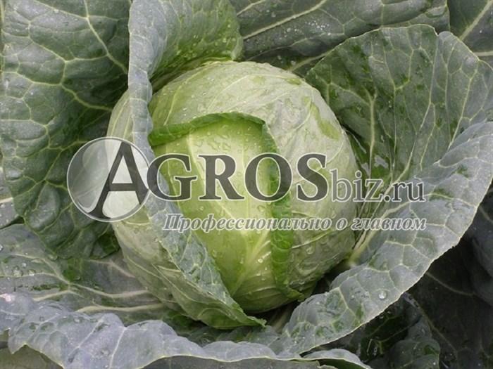 Семена капусты Фарао F1 2500 шт - фото 8849
