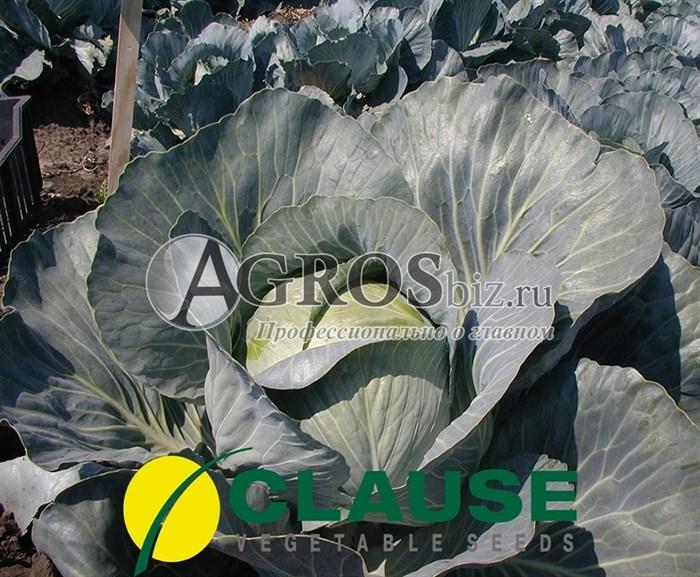Семена капусты Бригадир F1 2500 шт - фото 8851