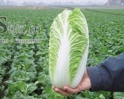 Семена капусты пекинской Эмико F1 2500 шт - фото 8861