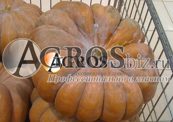 Семена тыквы Мускатная Прованская 500 г - фото 8885