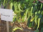 Семена перца острого Гомера F1 250 шт - фото 8939
