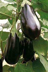 Семена баклажана Бенеция F1 5 г - фото 8976
