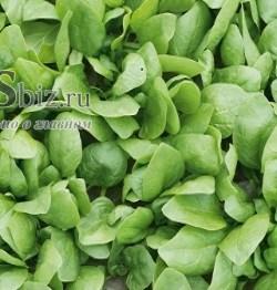 Семена шпината Рембрандт F1 50 000шт - фото 9055