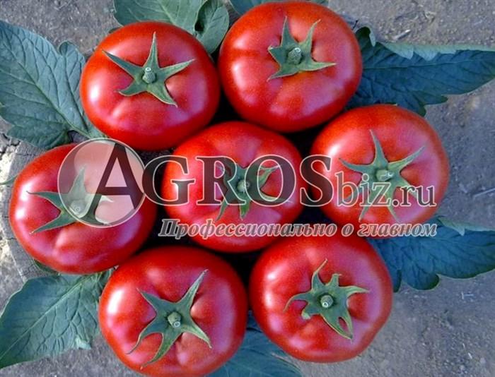Семена томата Лоджейн F1 1000 шт - фото 9117