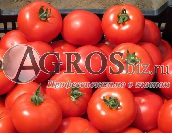 Семена томата Айваз 331 F1 1000 шт - фото 9147