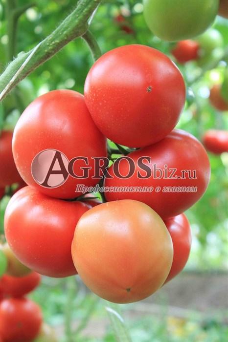 Семена томата Белфорт F1 500 шт - фото 9154