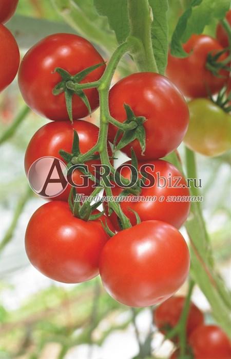 Семена томата Дирк F1 500 шт - фото 9157