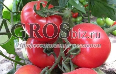 Семена томата KS 14 F1 250 шт - фото 9184