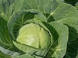 Семена капусты Миррор F1 2500шт - фото 9255