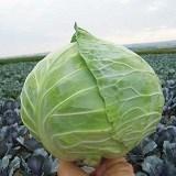 Купить семена капусты Чиз F1 2500шт - фото 9267