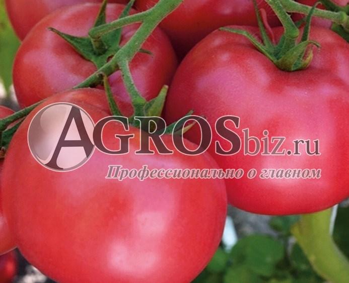 Семена томата Мамстон F1 500шт - фото 9283