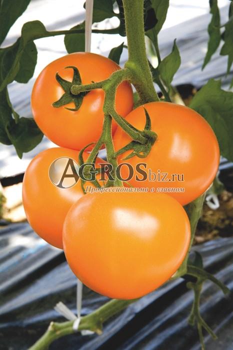 Семена томата TI-169 F1 250шт - фото 9314