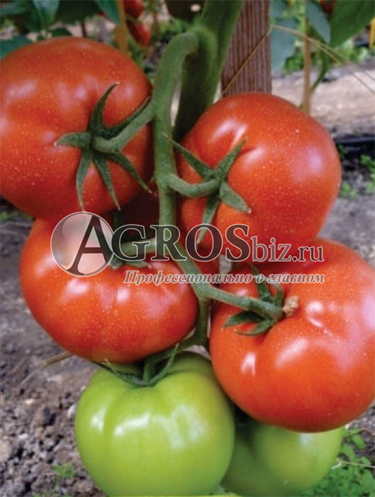 Семена томата Панекра F1 500шт - фото 9335