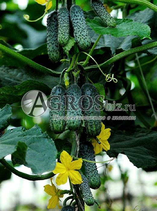 Семена огурца Эколь F1 500 шт - фото 9342