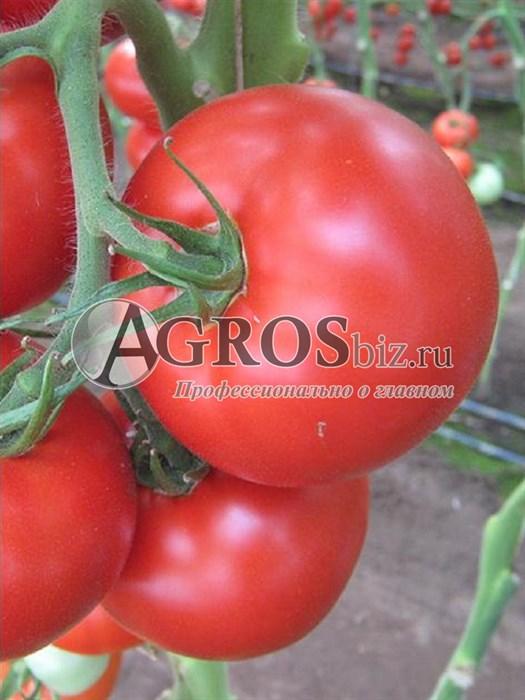 Семена томата Барибине F1 500шт - фото 9360