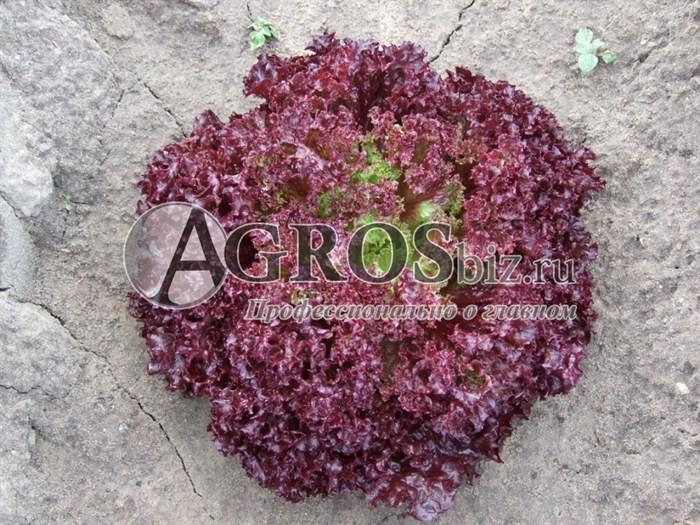 Семена салата Туска 5000 шт (драже) - фото 9382