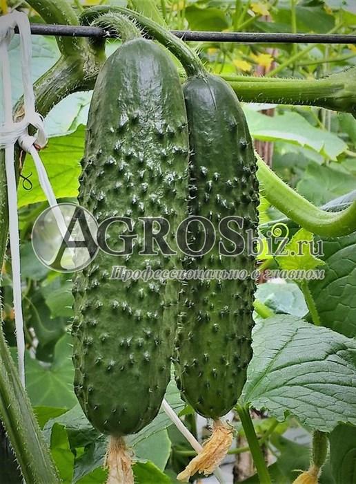 Семена огурца Северин F1 500 шт - фото 9417