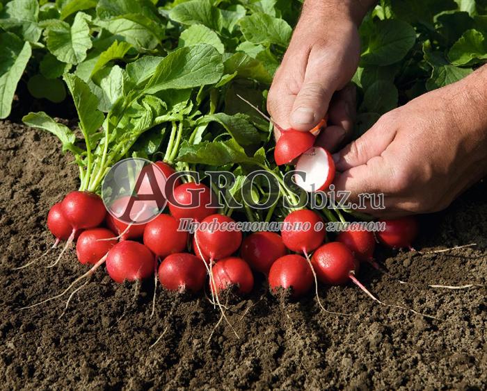 Семена редиса Рудольф 500 г - фото 9442
