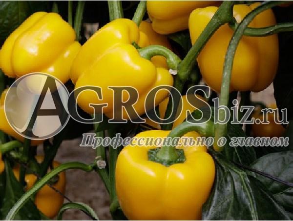 Семена перца Катриона F1 500 шт - фото 9457