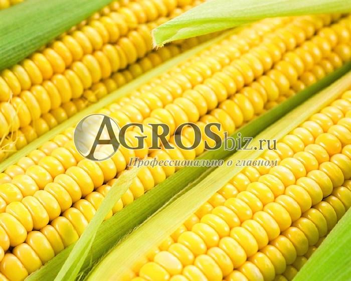 Семена кукурузы Шайнрок F1 1 кг - фото 9478