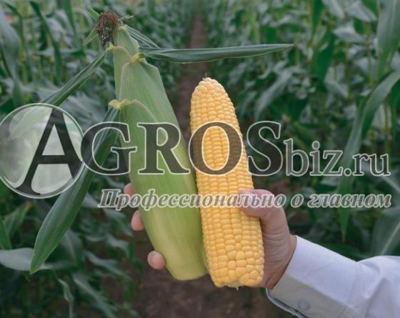 Семена кукурузы Биллион F1 5000 шт - фото 9505