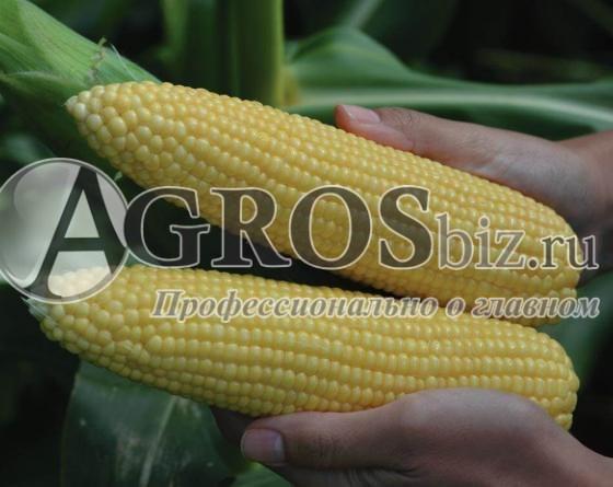 Семена кукурузы Легаси  F1 5000 шт - фото 9515
