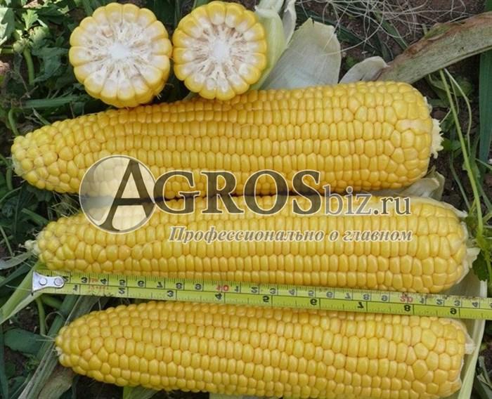Семена кукурузы Леженд F1 1 кг - фото 9521