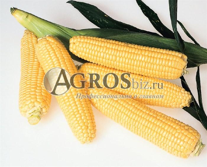 Семена кукурузы Супер Санданс F1 5000 шт - фото 9542