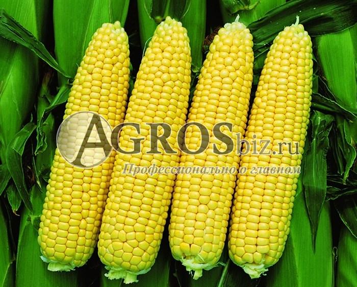 Семена кукурузы Свитстар F1 100 000 шт - фото 9549