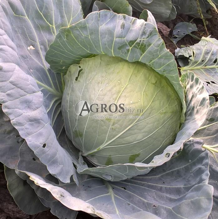 Семена капусты Компас F1 2500 шт - фото 9563