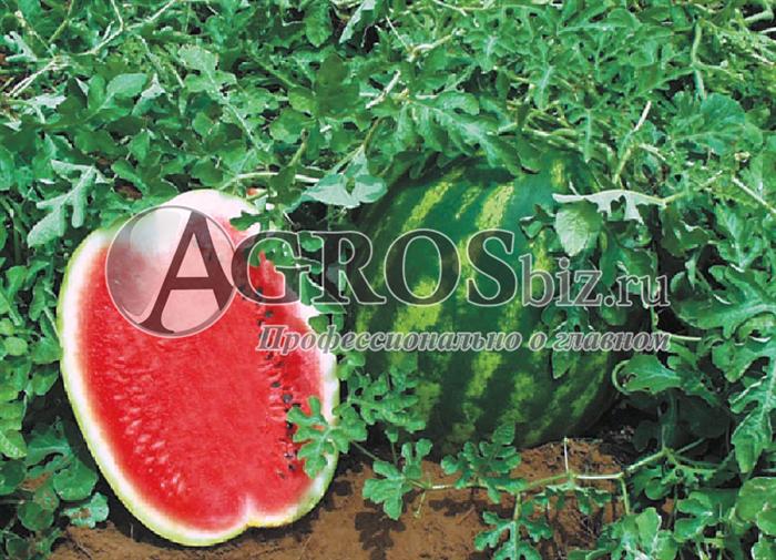 Семена арбуза Топ Ган F1 1000 шт - фото 9579