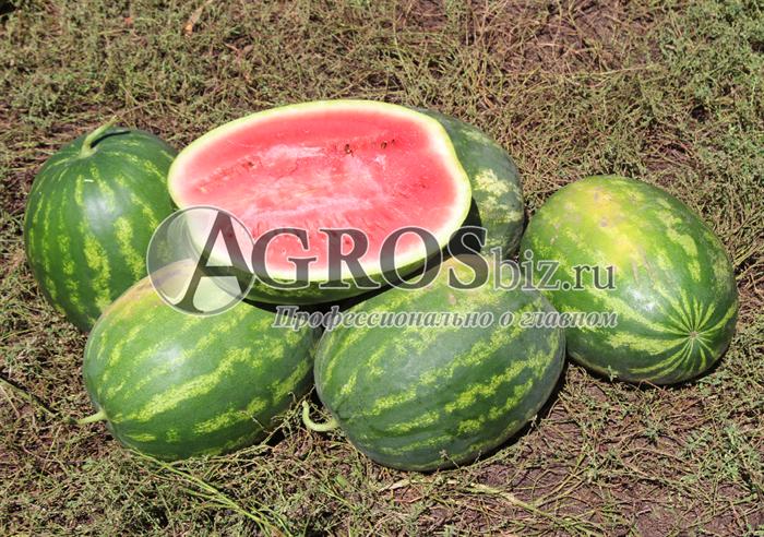 Семена арбуза Арашан F1 1000 шт - фото 9588