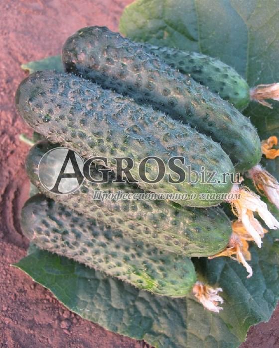 Семена огурца Директор F1 500 шт - фото 9704