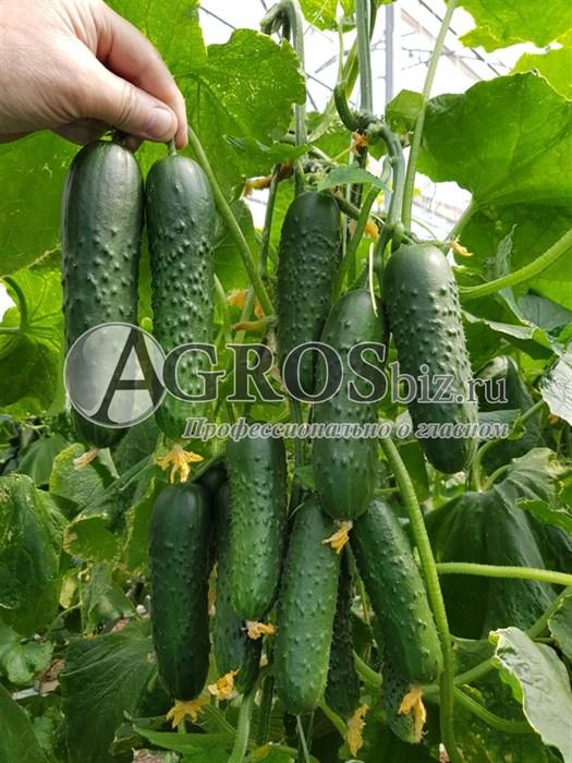 Семена огурца Спино F1 500 шт - фото 9722