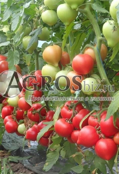 Семена томата Вегго F1 500 шт - фото 9964