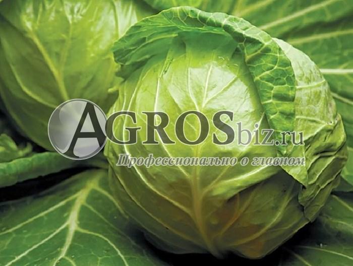 Семена капусты Джетодор F1 2500 шт - фото 9967