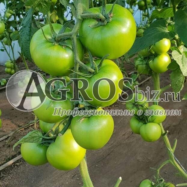купить семена томата в крыму