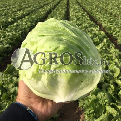 Семена салата Глендана 5000 шт (драже)