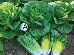 Семена салата Ксиомара 5000 шт (драже)