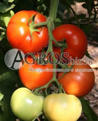 Семена томата Берберана F1 500 шт