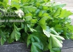 Семена петрушки Итальянский Гигант